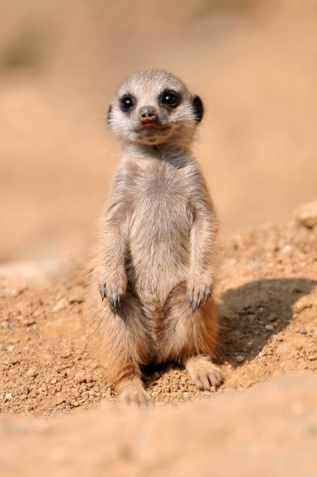 Meerkat Personality
